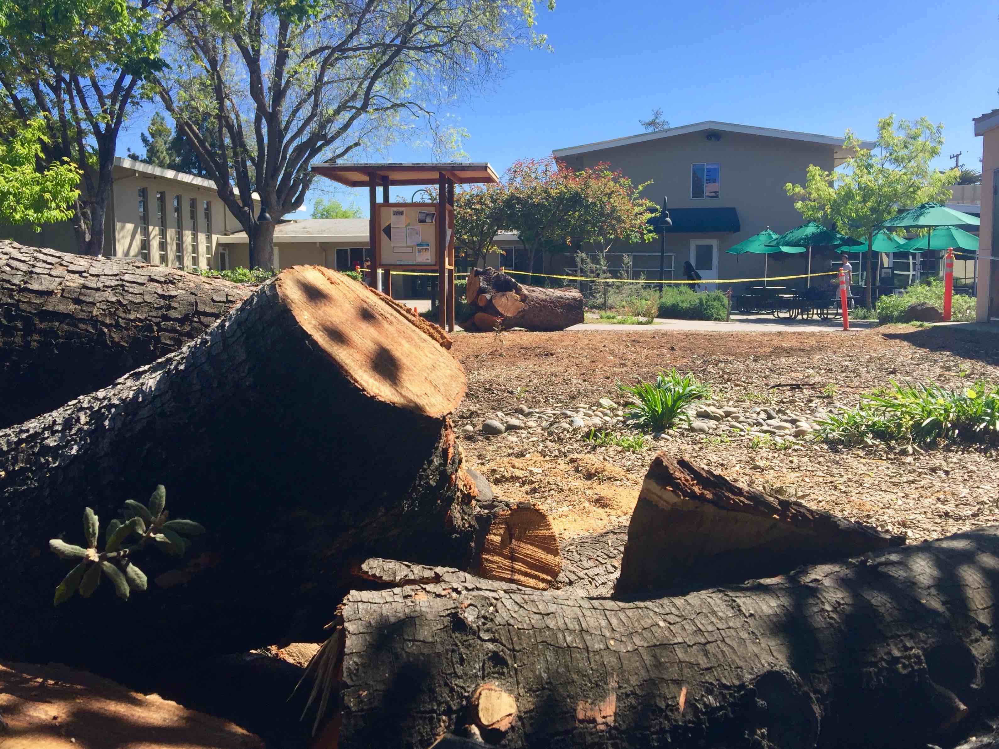 A 40 year old oak tree in the Quad was cut down during spring break after being deemed in a state of distress for the past decade. There are currently no known plans for the freshly cleared land.