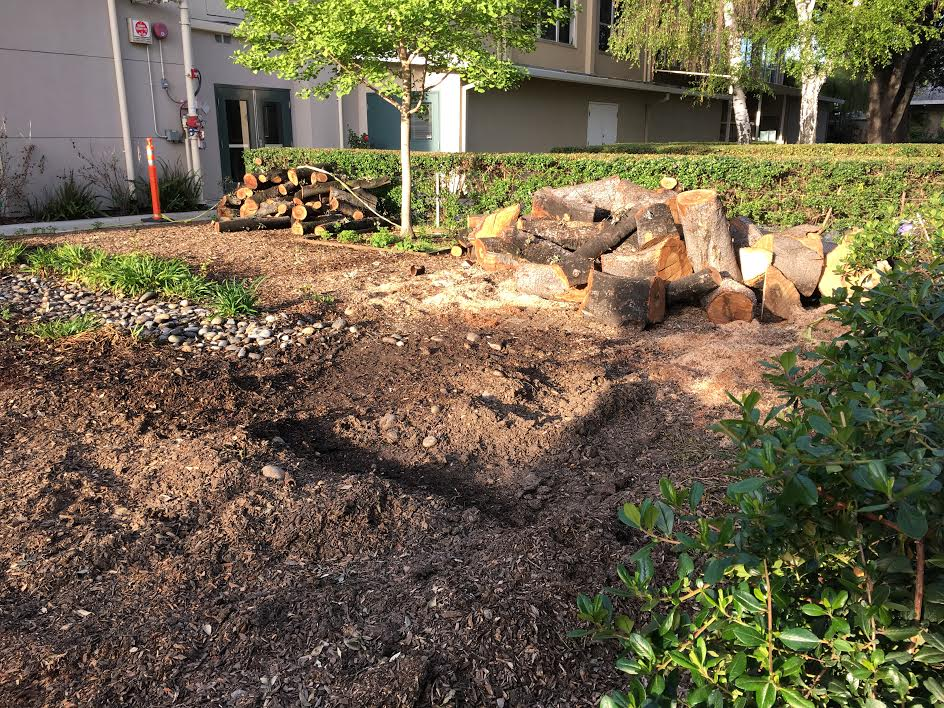 The oak tree behind the library was cut down because of root fungus. The newly cleared land near the Quad where the 40-year-old oak tree used to stand will be transformed into a seating area.