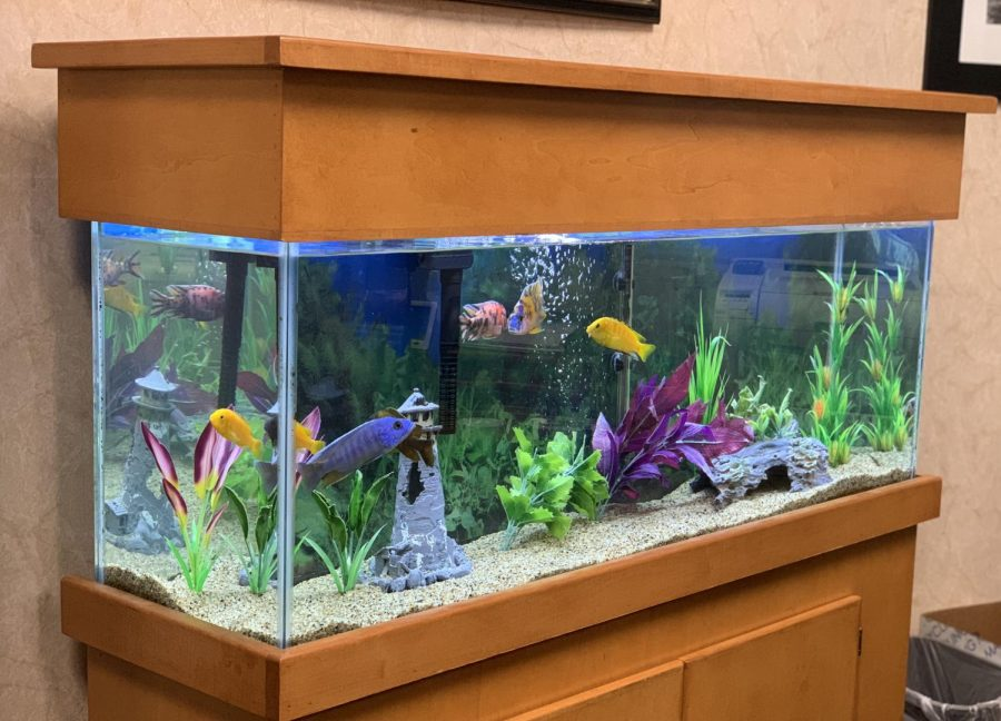 Moving+from+one+side+of+the+tank+to+the+other%2C+seven+African+Cichlids+explore+their+fish+tank.+Keller+first+started+keeping+an+aquarium+12+years+ago+when+every+member+on+the+girls+basketball+team+that+he+was+coaching+picked+out+a+fish+from+the+pet+store.