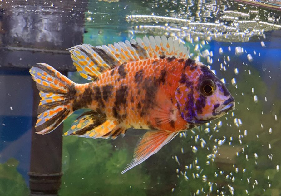 An African Cichlid with blue and salmon spots swims to the surface to eat the fish food. Upper School Division Head Butch Keller chose to raise African Cichlids because of their natural color and beauty.