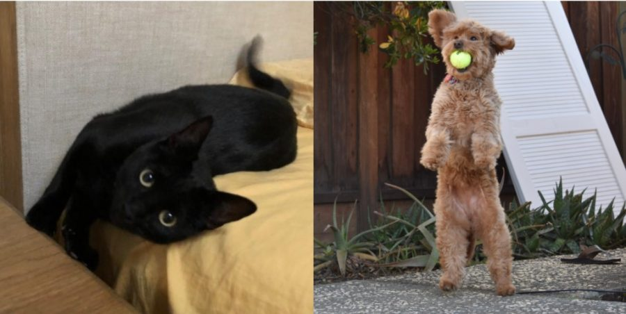 Erica Cai's (12) cat Taro romps around on her bed, while Muthu Panchanathams (12) dog Pixie stands on her hind legs and catches a tennis ball. Let the contentious battle of which is the better furry friend, cat or dog, commence!