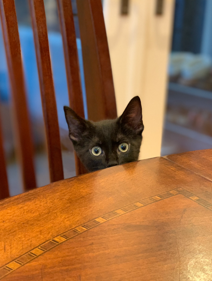 Ericas cat Taro peers curiously over the edge of the dining table. Domestic cats behavior has adapted in a way that diverges from their ancestors just to be with humans.