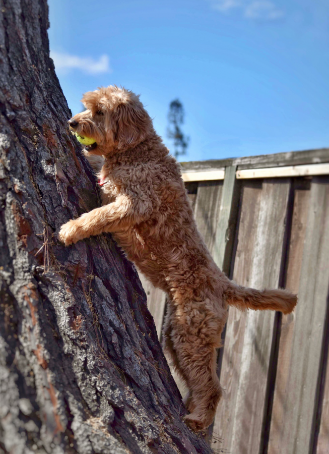 Pixie climbs a tree in Muthu's (12) backyard. Muthu often slots a tennis ball high in the bark of the tree so that Pixie will ascend the tree to retrieve it.
